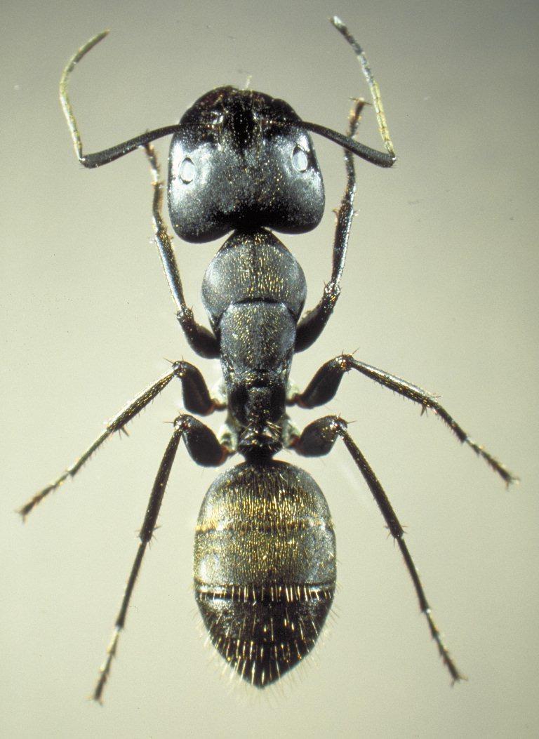 jpg4.us ls nudist クロオオアリの画像:PCD3390-12 (Camponotus japonicus)